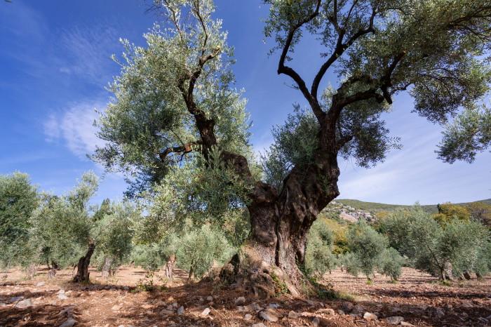 olivengut-kondyli_11