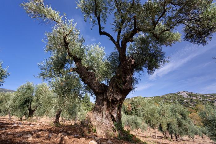 olivengut-kondyli_13
