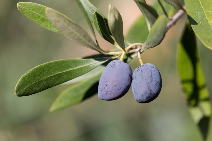 olivengut-kondyli_17