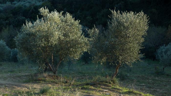 olivengut-kondyli_31