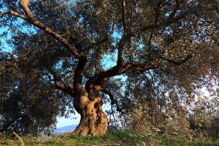 olivengut-kondyli_40
