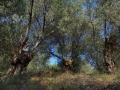 olivengut-kondyli_44