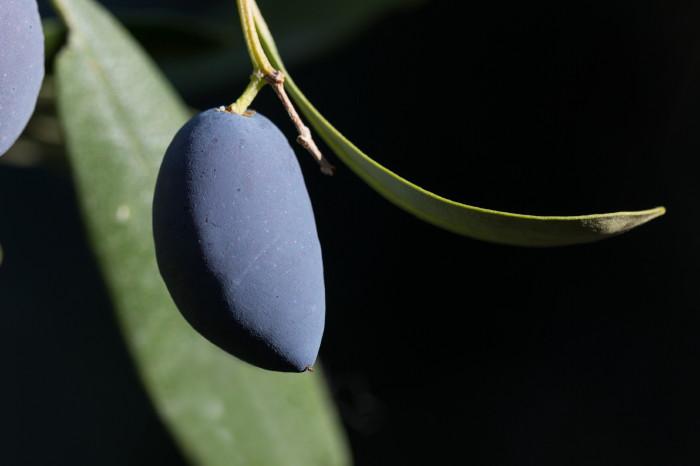 e-auf- dem-olivengut-kondyli_25